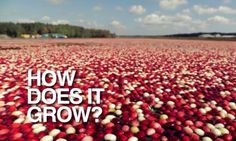 ❧ Cranberry Harvesting  ☄ .◠.‿.◠.‿↗  Food Tank   The Truth About Cranberries An American Original via @Food_Tank  by @HowGrow  - YouTube Video & Article