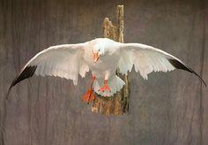 Taxidermy Display, Bird Taxidermy, Hunting Stuff, Duck Hunting, Duck Mount, Duck Season, Snow Goose, Wood Burning, Ducks