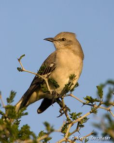 Mockingbird Florida State Bird The Official Of