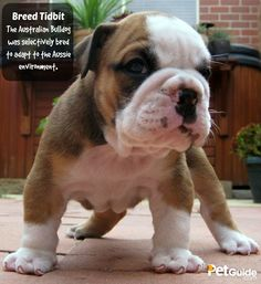The Australian Bulldog was selectively bred to adapt to the Aussie environment.