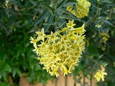 Cestrum parqui - Chilean Jessamine Yellow flowers with evening fragrance, prefers rich soil in full sun, drought tolerant hardy to blooms summer to frost Beautiful Flowers Pictures, Flower Pictures, Green Flowers, Wild Flowers, Evergreen Shrubs, Types Of Soil, Colorful Garden, Companion Planting, Perennials