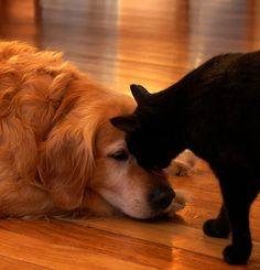 This looks like our Golden, Sandi and our cat, Piper.  They were best pals.....we miss them both. :(