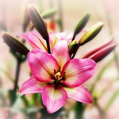 The Lilium Garden - Pink Lily