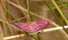 Ratelaar - Chorthippus biguttulus (erythrisme)