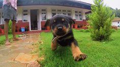 Rottweiler puppy in slow motion