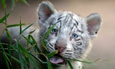 Argentine zoo shows off white tiger triplets