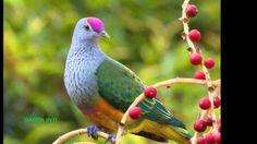 AVES DEL PARAISO Birds of Paradise Oiseaux de paradis