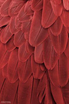 "michaelfitzsimmons: "" ""Macaw Feathers XXII"". Photo by Michael Fitzsimmons. Full portfolio at www.500px.com/MFitz """