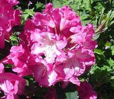 consolini's windmill rhodi...love the white center