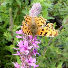 Butterflies love the Lythrum salicaria (British Native Loosestrife) www.watersidenursery.co.uk