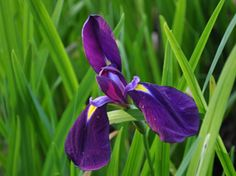 Iris endata 'Kumo-no-obi' do best in a damp areas in sun or semi shade. Beautiful dark velvet- purple flowers with bright yellow signals. Growing Irises, Growing Plants, Bog Garden, Herb Garden, Bog Plants, Purple Flowers, Greenery, Beautiful, Herbs Garden
