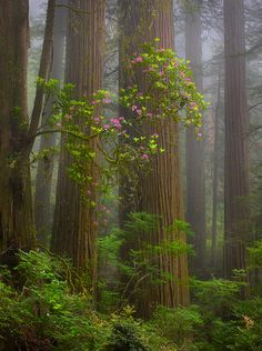 Foggy morning, Rhody blooms, Redwoods, California