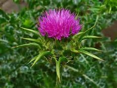 Silybum marianum - ( Milk Thistle ) Part Used: Seeds, Whole Plant. Medicinal Uses: Tea from whole plant improves appetite, allays indigestion, restores liver function. Used for cirrhosis,  jaundice, hepatitis, liver chemical poisoning or drug/alcohol abuse. Silymarin,a seed extract, improves liver regeneration, treats Amanita mushroom poisoning.