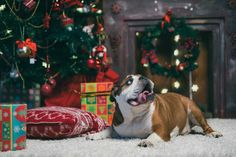 7 Tips To Ensure A Merry Christmas For Your Dog  http://primopup.com/7-tips-to-ensure-a-merry-christmas-for-your-dog/