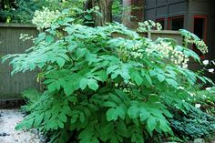 Late flowering: aralia cordata foliage and flowers