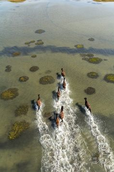 Ponies Running Through The Salt Marsh