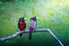 BLACK AND RED BROADBILL by Sasi - smit, via 500px