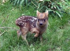 Worlds Smallest Deer