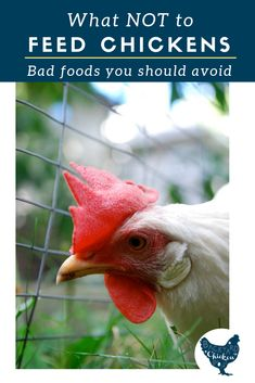 Chickens are omnivores and can eat a surprising number of things, but here's what NOT to feed chickens! Raising Meat Chickens, Best Egg Laying Chickens, Raising Backyard Chickens, Backyard Poultry, Keeping Chickens, Pet Chickens, Rabbits, Chicken Eating, Home