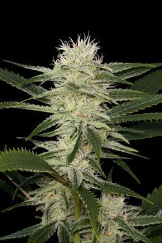 Original Amnesia Feminised Seeds by the cannabis breeder Dinafem Seeds, is a Photoperiod Feminised marijuana strain.This strain has Haze Genetics. It has a High (15-20%) THC Content. The CBD content of the strain is Low (0-1%).