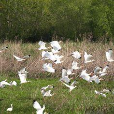 Woodstorks on the Creole Nature Trail, Louisiana.