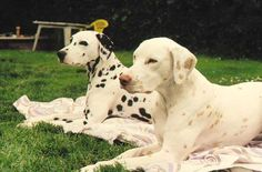 Lemon colored dalmatian with a black spotted dalmatian.