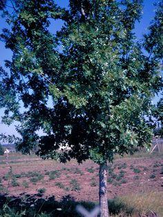 Shumard oak - summer