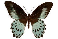 Blue Mormon (Papilio polymnestor) male