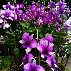 Orchids @Mandy Dewey Seasons Hotel Bangkok
