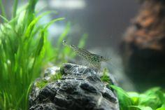 Aquascaping, Amanogarnele