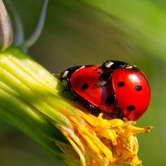 stock.xchng - Ladybug Love (stock photo by Krappweis) [id: 1396623]