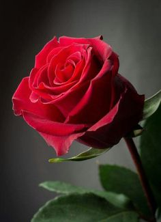 Can't you just smell that wonderful rose aroma by just looking at this picture? A rose by any other name. Beautiful Rose Flowers, Amazing Flowers, My Flower, Red Flowers, Beautiful Flowers, Damask Rose, Rosa Rose, Single Rose, Colorful Roses
