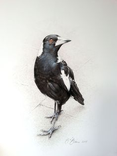 Grandma's Magpie Watercolor Bird, Watercolor Paintings, Watercolours, Bird Drawings, Animal Drawings, Magpie Tattoo, Australian Birds, Bird Artwork, Bird Pictures