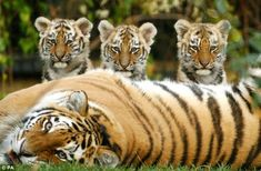Howletts is also home to big cats such as these tigers