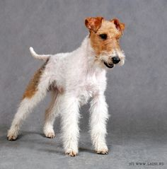 Wirehaired Fox.Very little black about this dog.