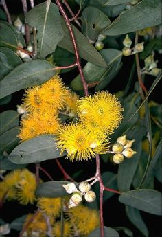 Lemon-flowered mallee also Woodward's blackbutt (Eucalyptus woodwardii) A small tree or mallee. Native distribution is limited to east of Kalgoorlie in Western Australia. The tree is a very popular ornamental due to its attractive, large, lemon-yellow flowers.