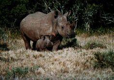 Baby rhino & mom