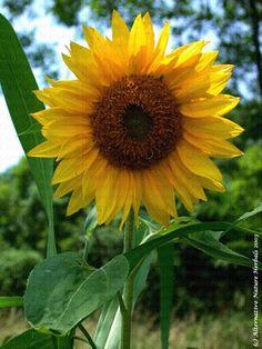 Sunflower oil for soap making The Fiery Cross, Cleaners Homemade, Outlander Series, Sunflower Oil, Lotions, Soap Making, Sunflowers, Soaps, Scrubs