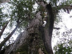 Giant of the forest, Taiwan (camphor trees) | Flickr - Photo Sharing!