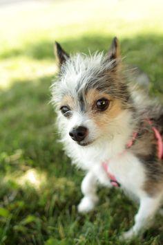 Mini - Jack Russell Chihuahua mix- lol love the fur!
