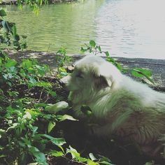 Apparently the coolest spot is in the poison ivy. #dog #poisonivy