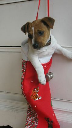 Jack Russell Terrier in a Christmas stocking