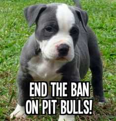 Pit Bulls are loving, forgiving and very loyal!
