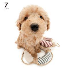 Artlist Collection THE DOG Poodle calendar