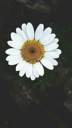 Photography of a beautiful Daisy flower. Iphone Background Wallpaper, Flower Wallpaper, Screen Wallpaper, Cool Wallpaper, Wild Flowers, Beautiful Flowers, Flower Aesthetic, Aesthetic Wallpapers, Cute Wallpapers