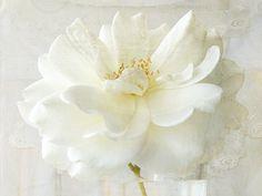 rose & lace