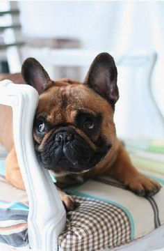 'Oh No, it's Drunk Aunt Marybeth Again'..... Annoyed French Bulldog.