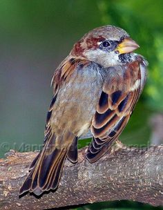 House Sparrow close-up