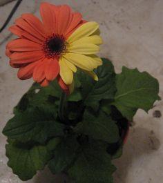 Gerber daisy Gerber Daisies, Gerbera, Daisy, Chimera, Flowers, Plants, Colors, Margarita Flower, Daisies