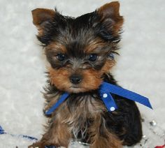 Teddy Bear Yorkie Haircut   Teacup Yorkie Puppies Available For Sale , Akc registered , potty ...